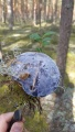 Гиднеллум голубой
