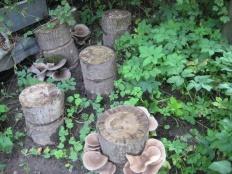 Выращивание вешенки и шиитаке на пнях