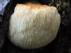 Ежовик гребенчатый
