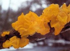 Дрожалка оранжевая