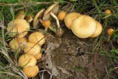 Агроцибе стоповидный (Agrocybe semiorbicularis)