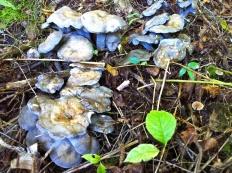 Альбатреллус синепоровый (Albatrellus caeruleoporus)