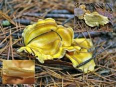 Альбатреллус сирени (Albatrellus syringae)