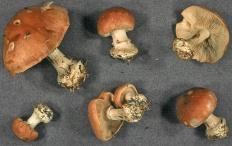 Белопаутинник луковичный (Leucocortinarius bulbiger)