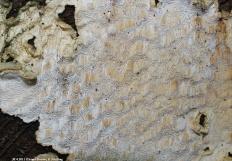 Белый домовой гриб (Antrodia sinuosa)
