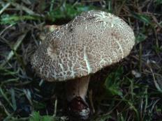Боровик пороспоровый (Xerocomus porosporus)