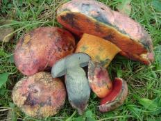 Боровик розово-пурпурный (Boletus rhodopurpureus)