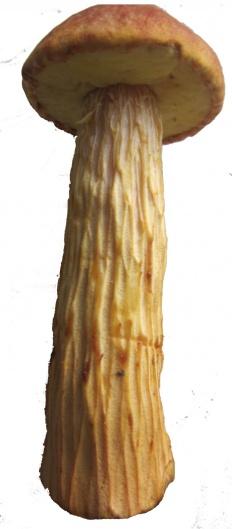 Боровик золотистый (Aureoboletus projectellus)
