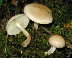 Чешуйчатка клейкая (Pholiota lenta)