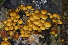 Чешуйчатка золотистая (Pholiota aurivella)