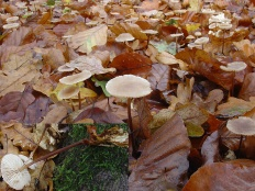Чесночник дубовый (Marasmius prasiosmus)
