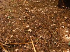 Чесночник обыкновенный (Marasmius scorodonius)