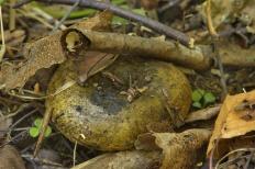Чёрный груздь (Lactarius necator)