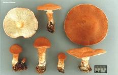 Цистодерма красная (Cystoderma cinnabarinum)