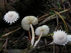 Цистолепиота семинуда (Cystolepiota seminuda)