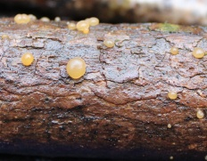 Дакримицес исчезающий (Dacrymyces deliquescens)