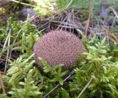 Дождевик ежевидно-колючий (Lycoperdon echinatum)