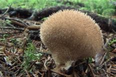 Дождевик вонючий (Lycoperdon foetidum)