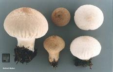 Дождевик съедобный (Lycoperdon perlatum)