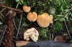 Ежовик красновато-желтый (Hydnum rufescens)