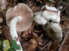 Энтолома продавленная (Entoloma rhodopolium)
