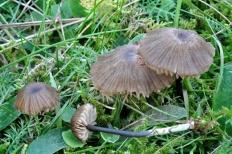 Энтолома шероховатенькая (Entoloma asprellum)