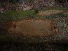 Феллинус виноградный (Phellinus viticola)
