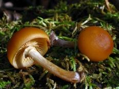 Галерина окаймленная (Galerina marginata)