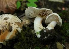 Гебелома клейкая (Валуй ложный) (Hebeloma crustuliniforme)