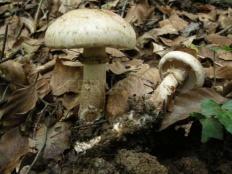 Гебелома корневая (Hebeloma radicosum)