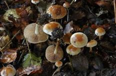 Гебелома углелюбивая (Hebeloma birrus)