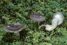Гигрофор чёрный (Hygrophorus camarophyllus)