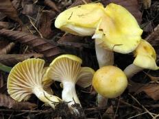 Гигрофор лиственничный (Hygrophorus lucorum)