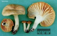 Гигрофор луговой (Hygrophorus pratensis)