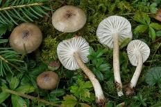 Гигрофор пятнистый (Hygrophorus pustulatus)