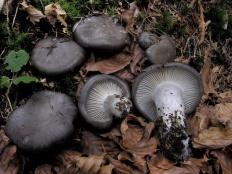 Гигрофор ранний (Hygrophorus marzuolus)