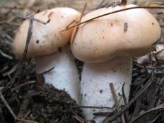Гигрофор розоватый (Hygrophorus pudorinus)