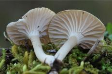 Гигрофор снежно-белый (Hygrophorus niveus)