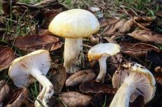Гигрофор золотистый (Hygrophorus chrysodon)