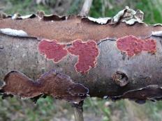Гименохете пурпурная (Hymenochaete cruenta)