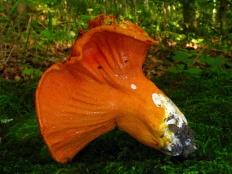 Гипомицес млечниковый (Hypomyces lactifluorum)