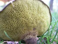 Гиродон мерулиусовидный (Gyrodon merulioides)