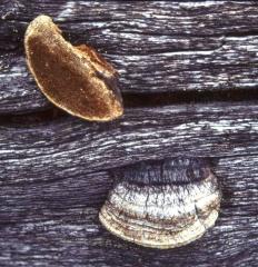 Глеофиллум продолговатый (Gloeophyllum protractum)