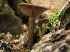 Говорушка бокаловидная (Clitocybe cyathiformis)