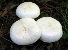 Говорушка дымчатая форма белая (Clitocybe robusta)