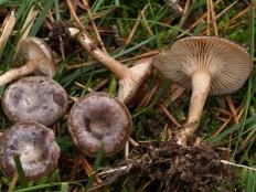 Говорушка снежная (Clitocybe pruinosa)