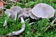 Говорушка желобчатая (Clitocybe vibecina)
