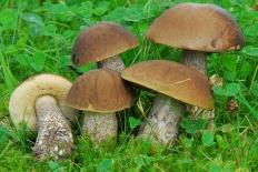 Грабовик (Leccinum carpini)