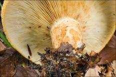 Груздь желтый (Lactarius scrobiculatus)