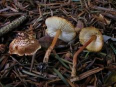 Зонтик каштановый (Lepiota castanea)